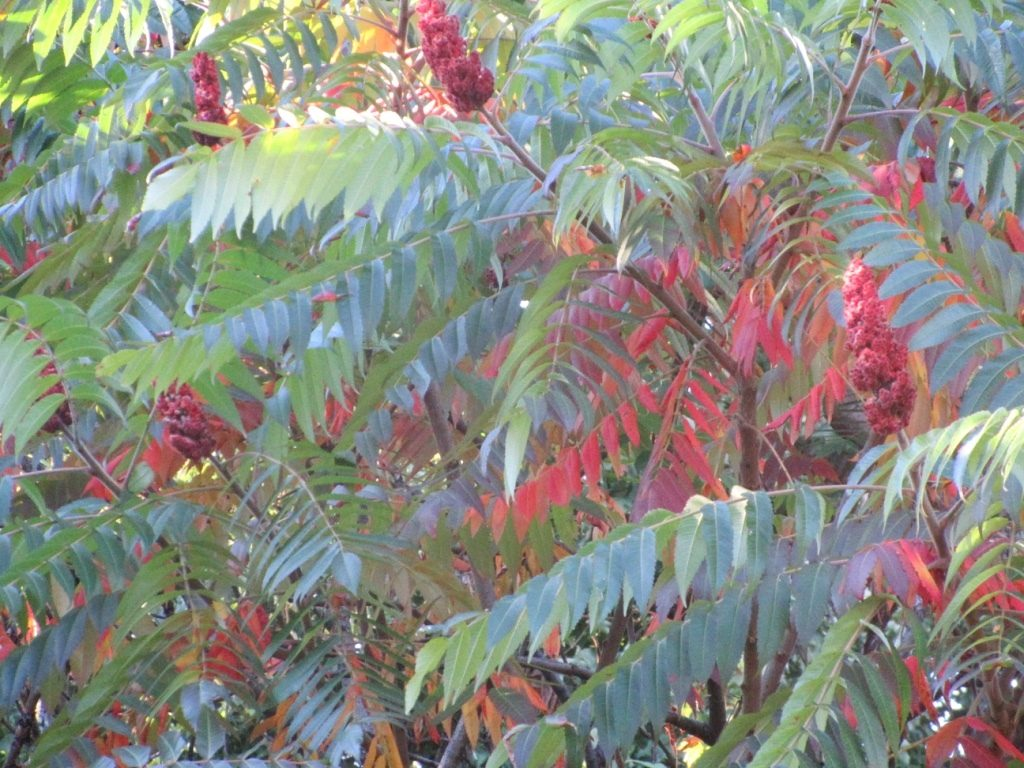 Staghorn sumac in October